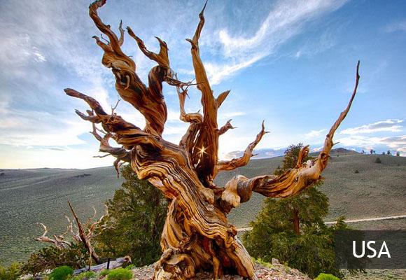 Старейшее дерево Мафусаил
